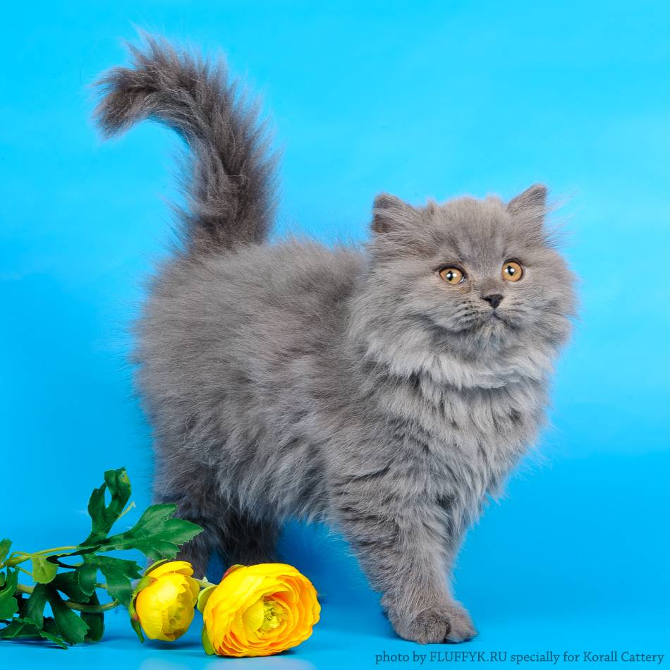 Шотландская прямоухая длинношерстная кошка «хайленд-страйт»