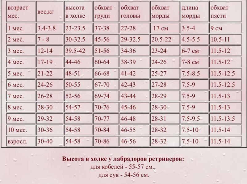 Чихуа стандарт размеры. вес чихуахуа стандарт по месяцам