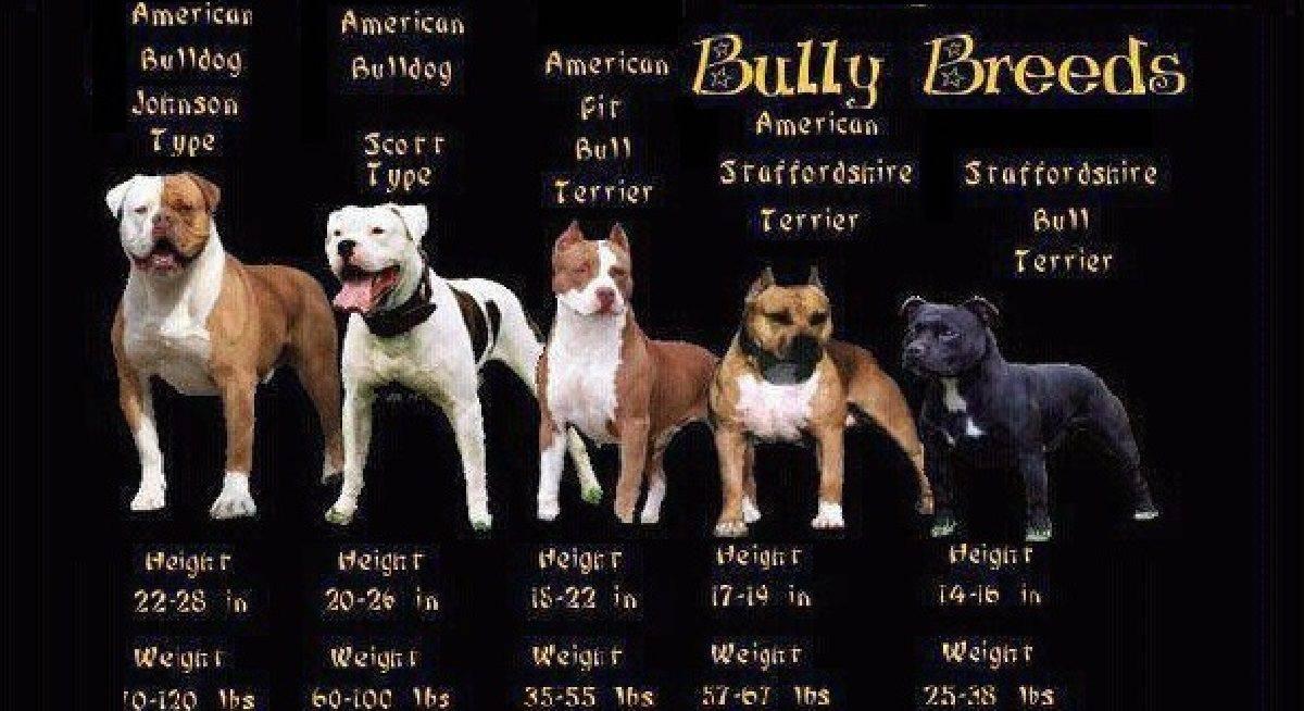 Американский булли — собака ориентированная на хозяина