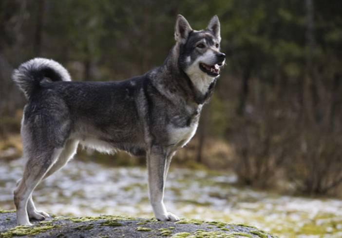 Норвежский элкхаунд (лосиная лайка) — фото, описание породы собак, особенности