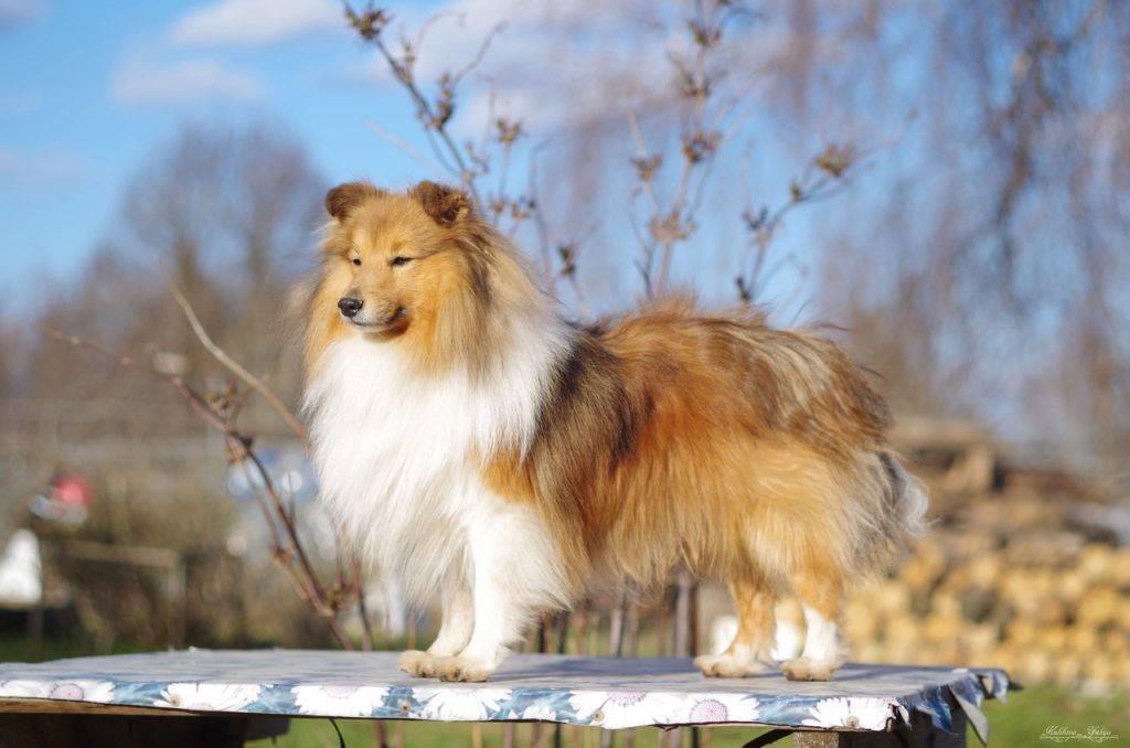 Шелти (шетландская овчарка): описание, фото, характеристика