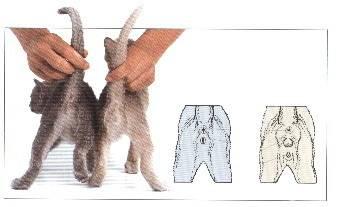 Кот или кошка: определяем пол у новорожденных котят и взрослых животных