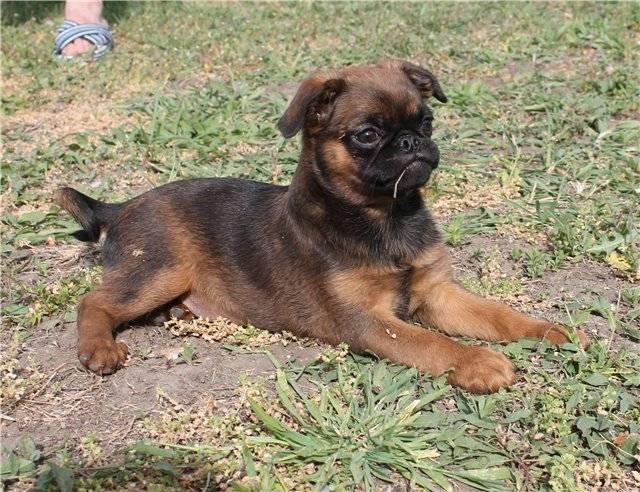 Брюссельский гриффон: фото, описание породы, характер, особенности ухода и содержания собаки