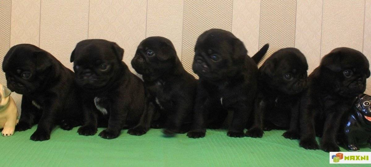 Черные собаки (47 фото): породы больших и маленьких собачек, особенности окраса щенков. каким геном определяется окраска шерсти?
