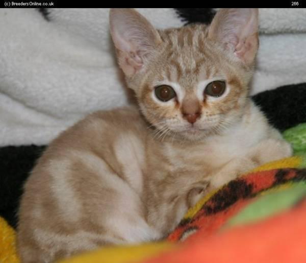 Подробное описание азиатской дымчатой кошки: особенности окраса породы