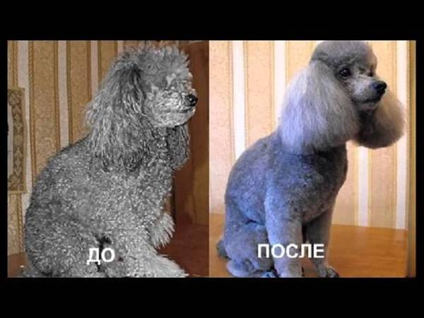 Стрижка собак: зачем она нужна, профессиональный груминг и домашняя стрижка