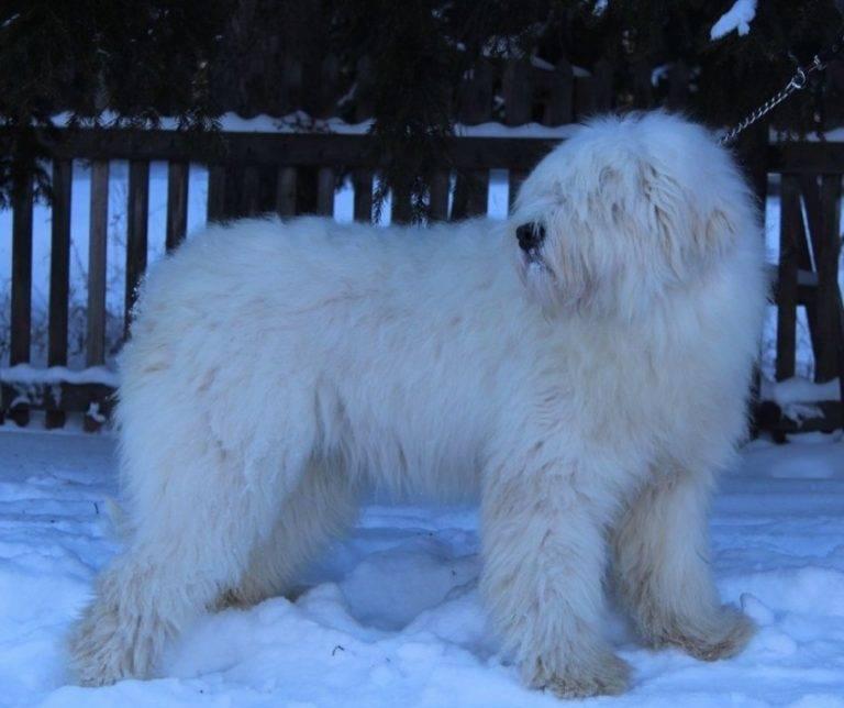 Немецкая овчарка: фото, описание породы, цена и уход за собакой