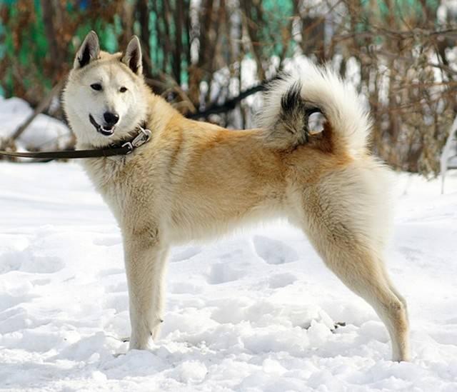 Якутская лайка — описание породы, характеристика, уход, фото якутских лаек и многое другое