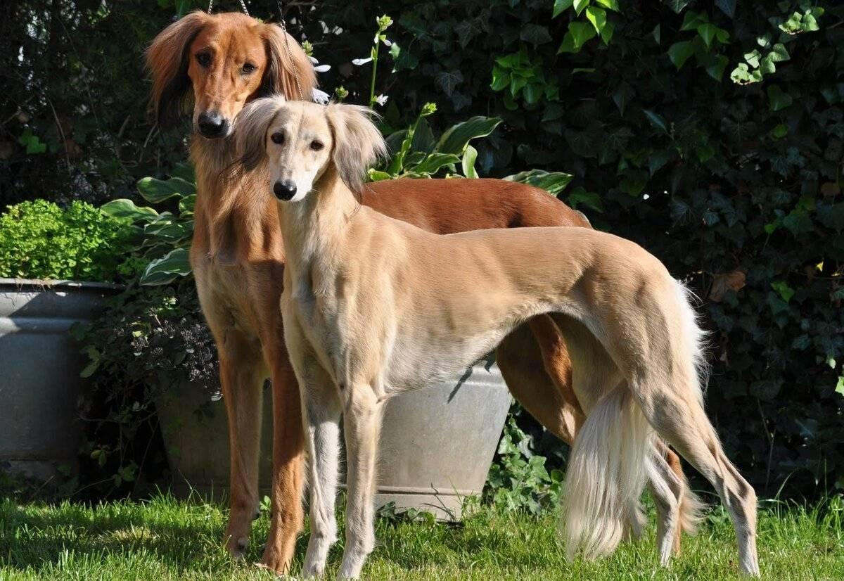 Кто такие гончие собаки: какие существуют разновидности этих пород
