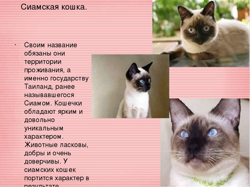 Сиамская кошка: фото, описание, характер, содержание, отзывы