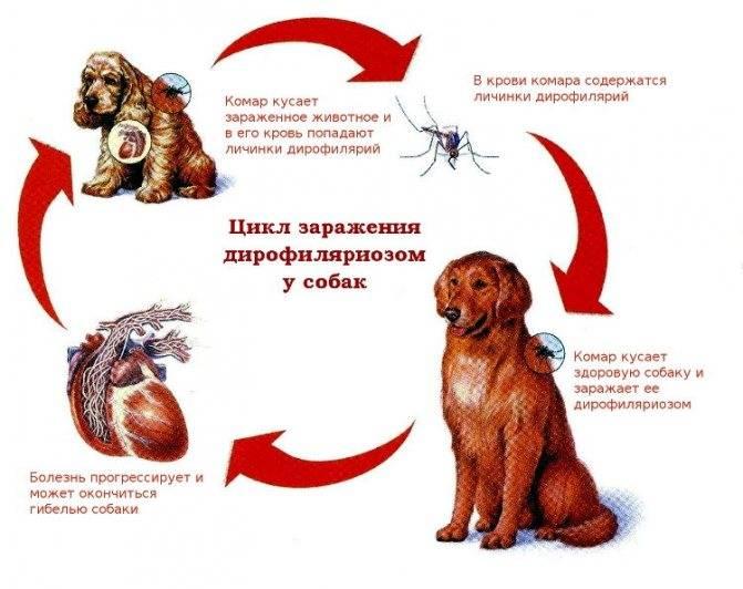 Передаются ли глисты от собаки человеку?