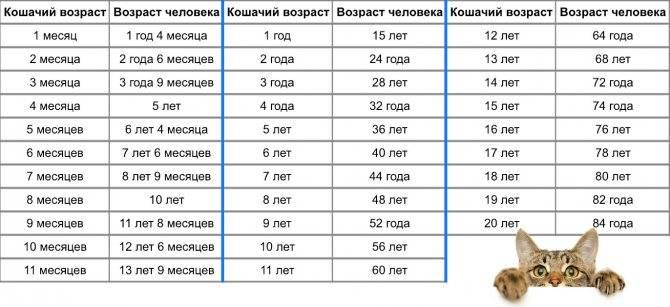 Сколько лет кошке по человеческим меркам: таблица и как посчитать самому
