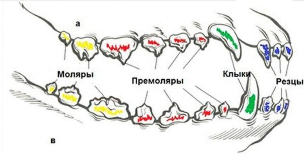Особенности смены зубов у собак, строение ротовой полости, лечение зубов