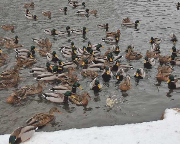 Дикие утки: чем можно кормить зимой в пруду, чем питаются в природе