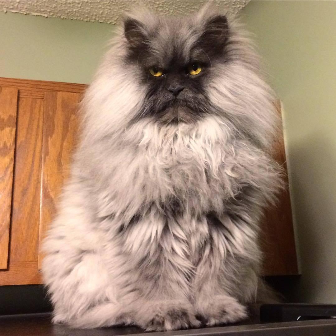 Самая злая кошка: названия пород, их описания и фото