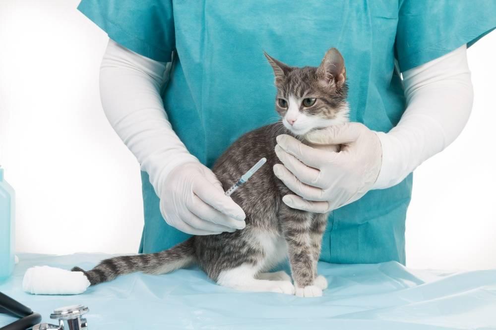 Короновирусный гастроэнтерит у кошек: симптомы и лечение