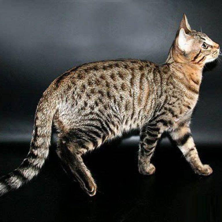 Серенгети история внешность и характер кошки - oozoo.ru
