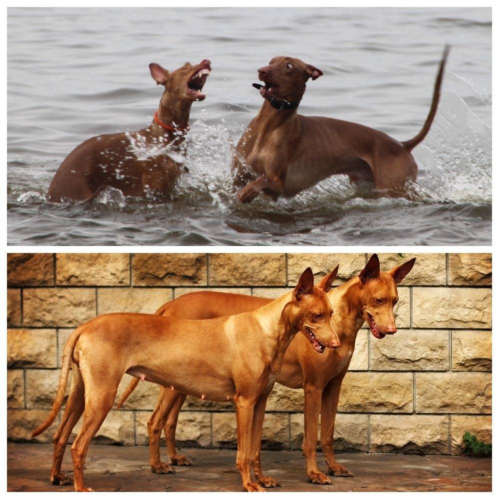 Фараонова собака: описание, история, факты, фото, характер
