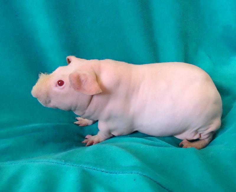 Особенности ухода за лысой морской свинкой породы скинни