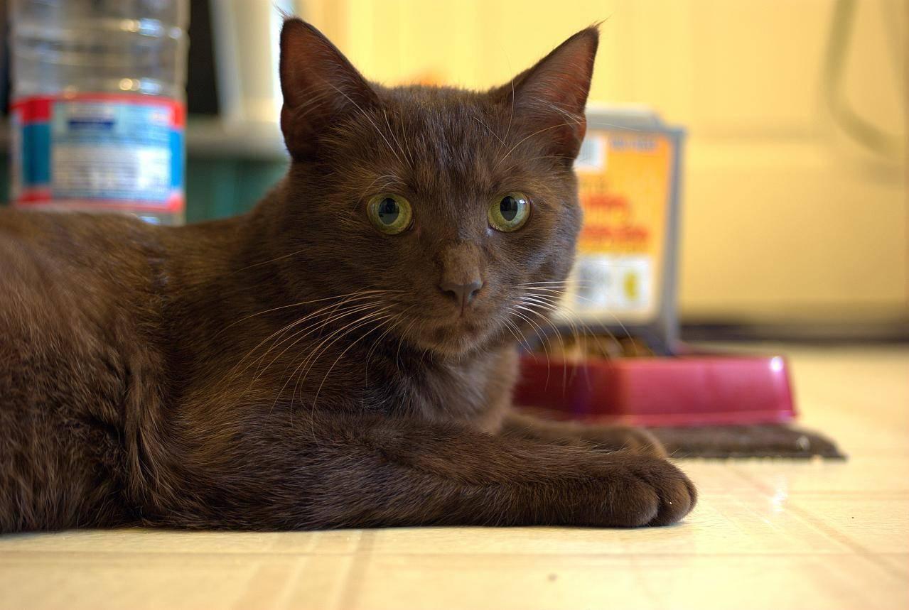 Кошки бурмилла: описание породы, характер, особенности ухода, история выведения