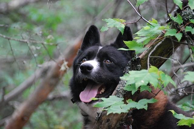Карельская медвежья собака: описание и характеристика породы