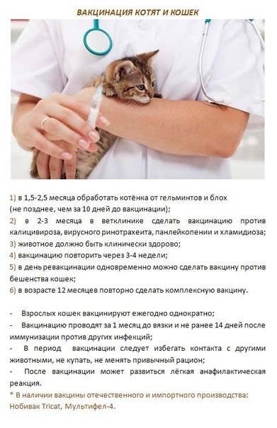 Вакцинация кошек от бешенства: виды, сроки действия, периодичность, противопоказания