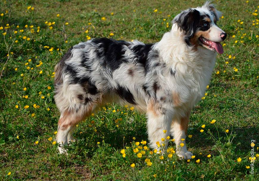 Австралийская овчарка (аусси): описание породы собак с фото и видео