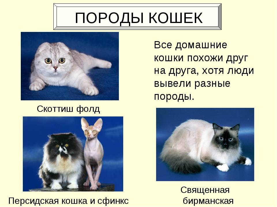 Как определить породу кошки - энциклопедия про кошек и собак