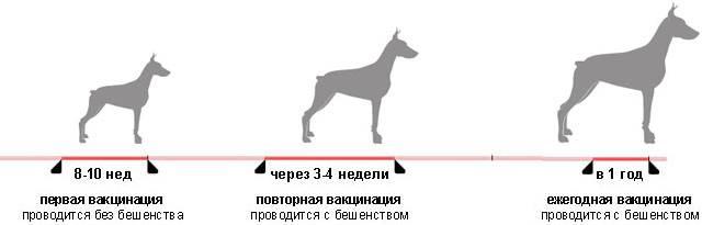 Как глистогонят щенов? веретенары делятся секретами [прогрессивные методы лечения]