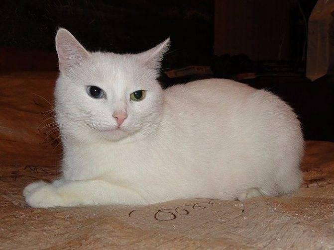 Анатолийская кошка — википедия