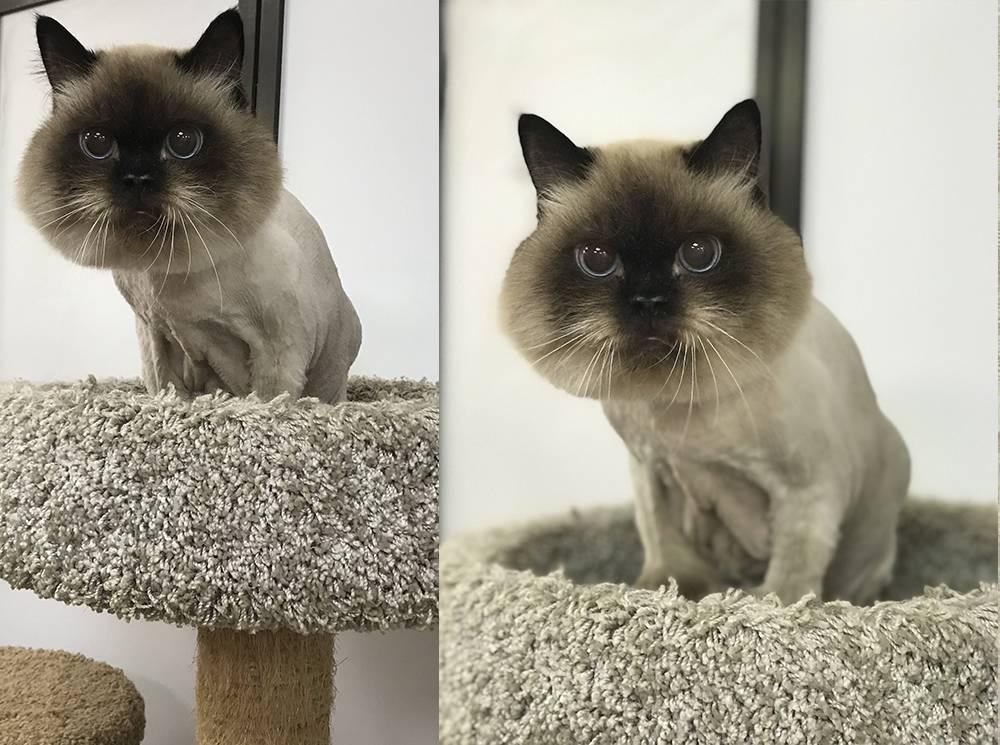 Стрижка кошек - для чего нужна животным, гигиенический и модельный груминг, стоимость в салонах
