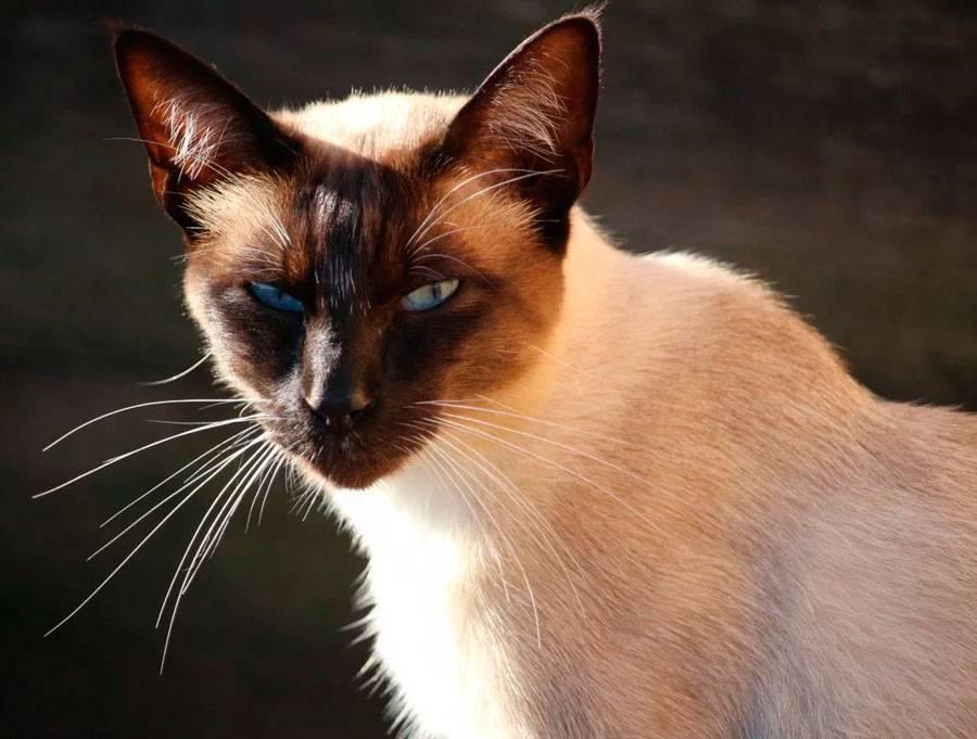 Бирманская кошка - легенда и история происхождения