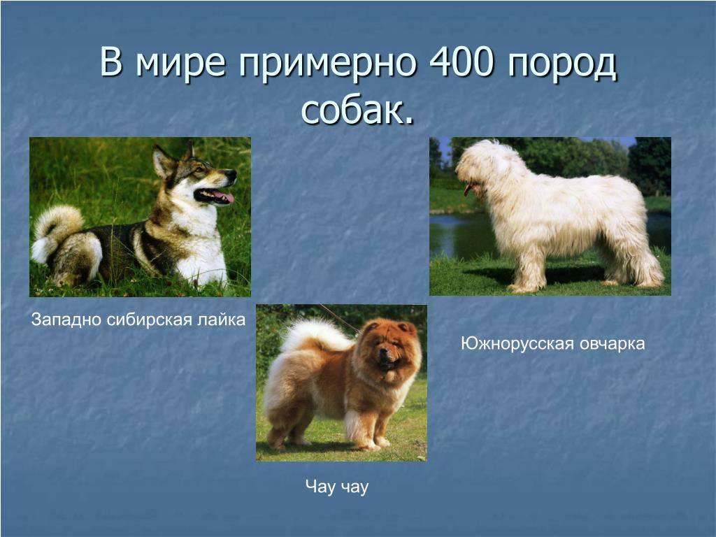 Самые популярные виды пород овчарки