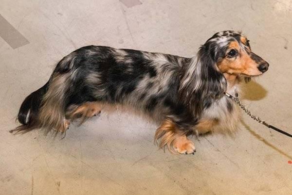 Описание породы «длинношерстная такса»: фото собак, принятый стандарт, особенности характера и правила содержания