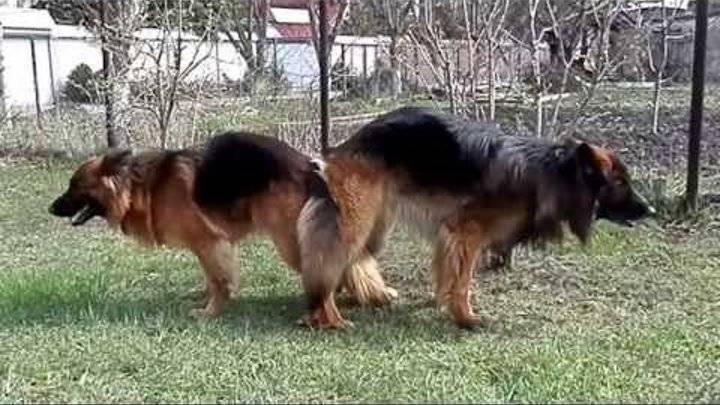Почему собаки слипаются при спаривании?
