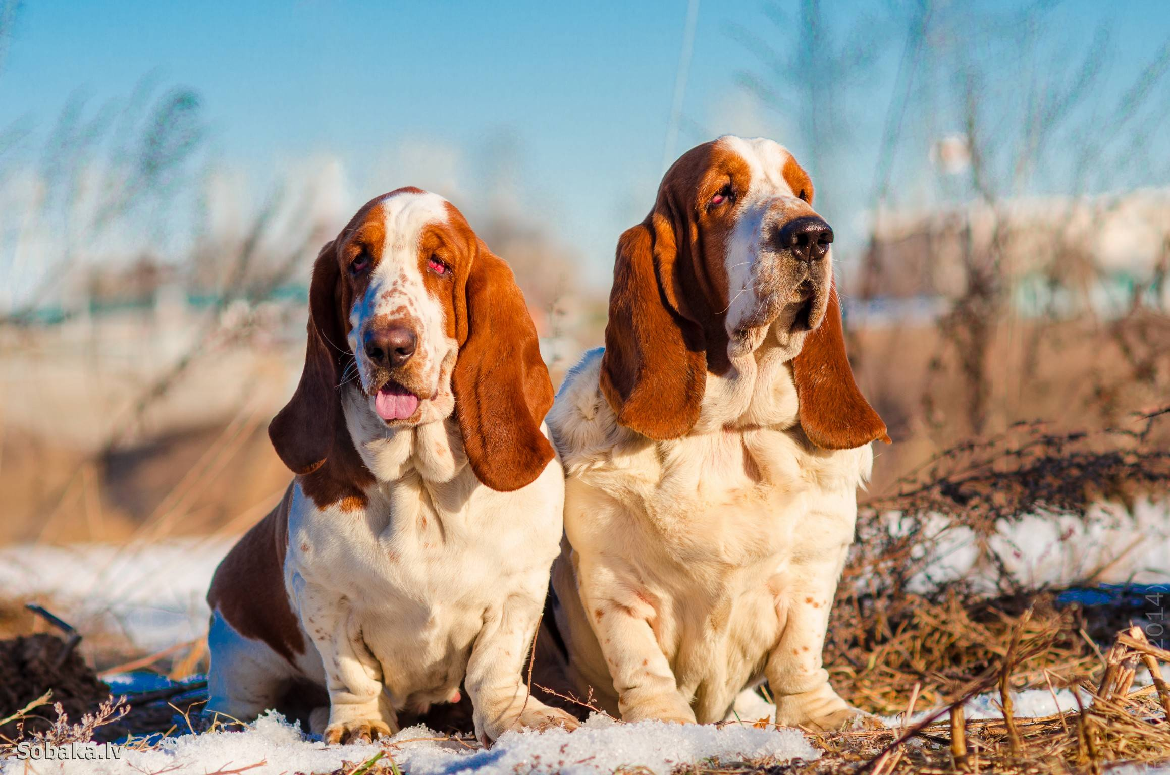 Бладхаунд собака. описание, особенности, уход и цена бладхаунда   животный мир