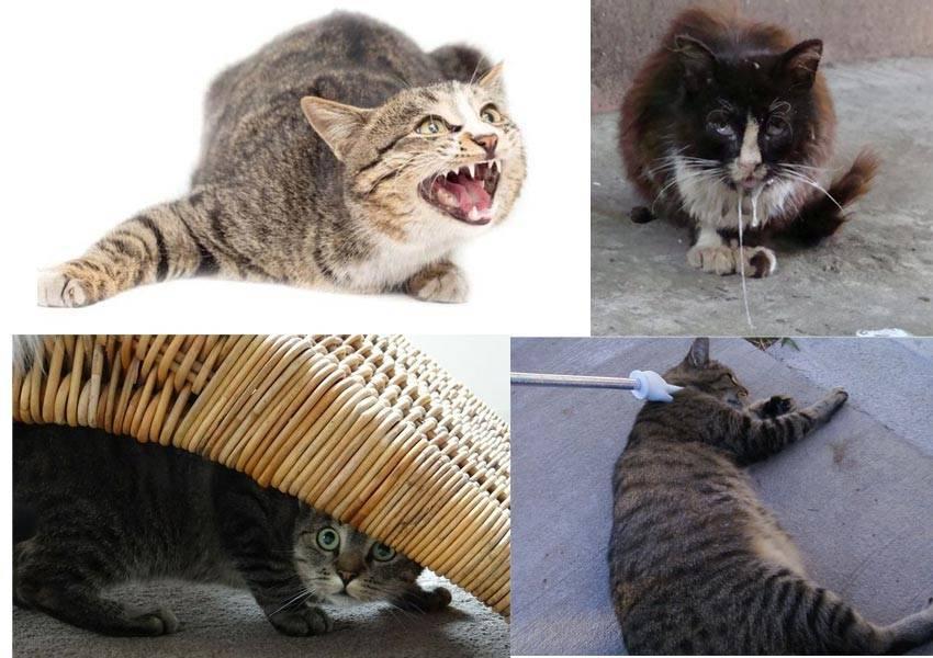 Описание симптомов бешенства у кошки: опасность заболевания для человека