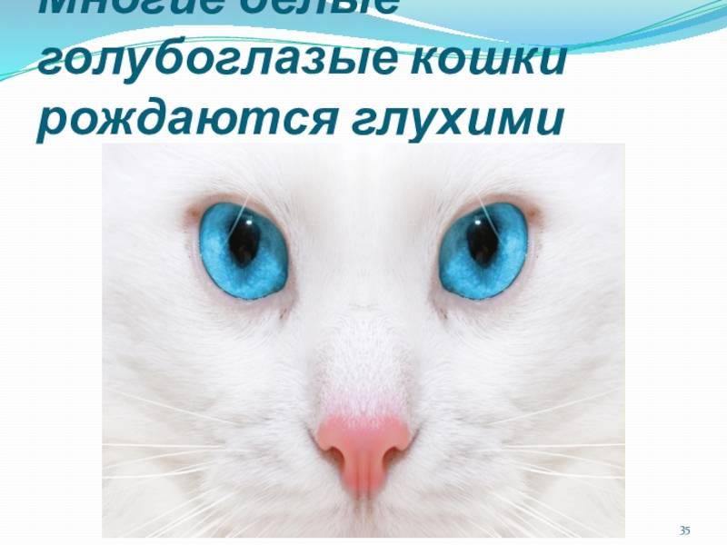 Глухота у белых кошек