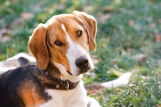 Пегая гончая собака. описание, особенности, уход и цена пегой гончей | животный мир