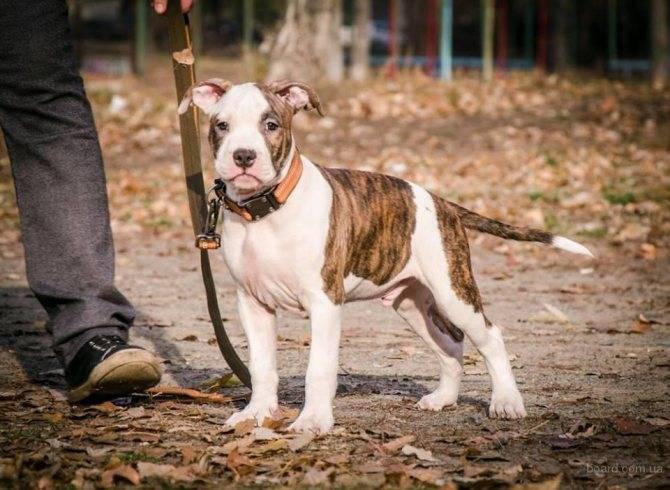 Американский стаффордширский терьер: все о собаке, характеристика, описание породы, фото