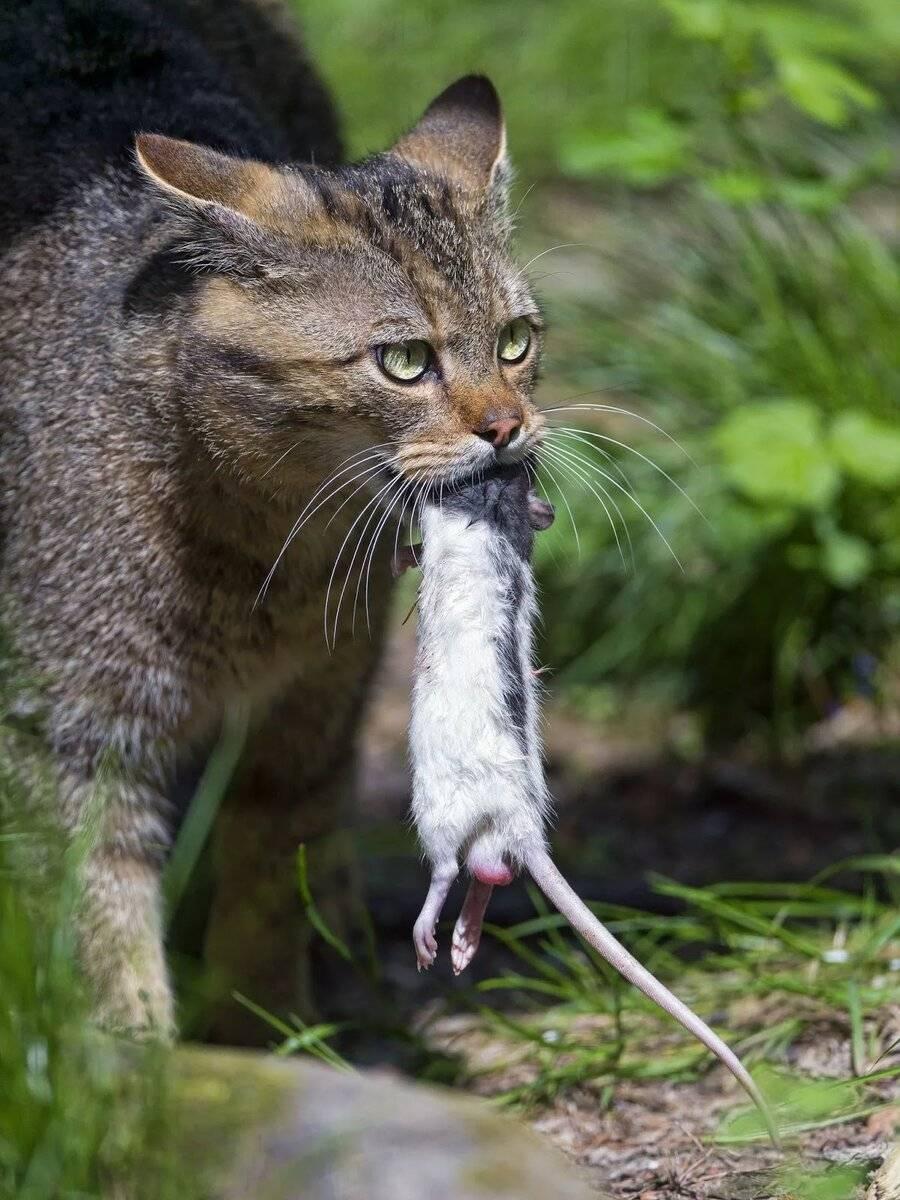 Породы кошек крысоловов: полный список с описанием и фотогрфиями