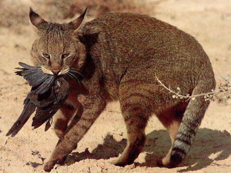 50 интересных фактов о камышовых котах для любознательных — общенет