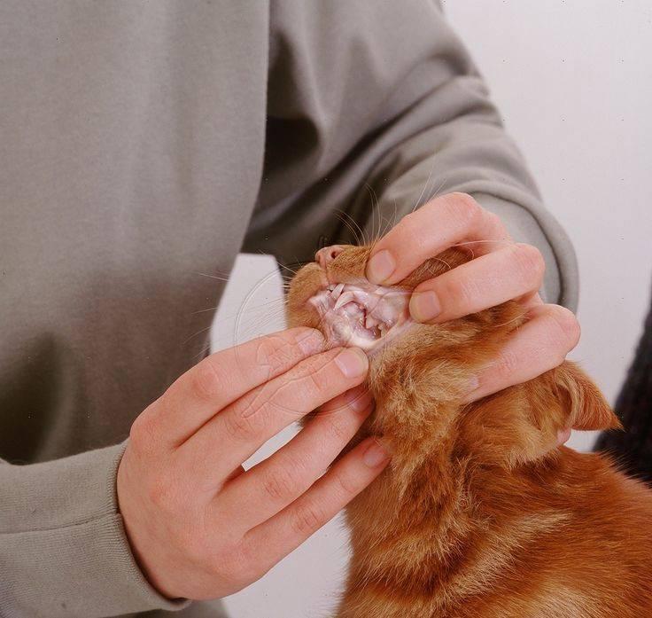Гемобартонеллез у кошки. рассказ ветеринара о симптомах и лечении