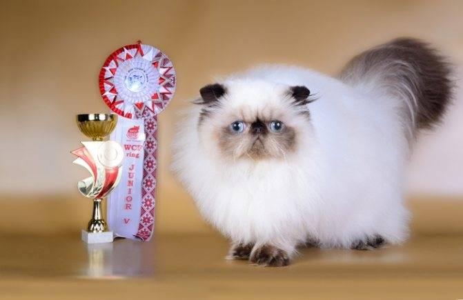 Гималайская кошка: описание и характер породы, основы ухода, фото