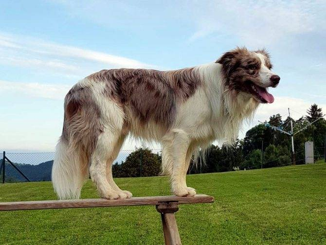 Бордер-колли — «вассерман» среди собак: непримечательный на вид, но острый на ум