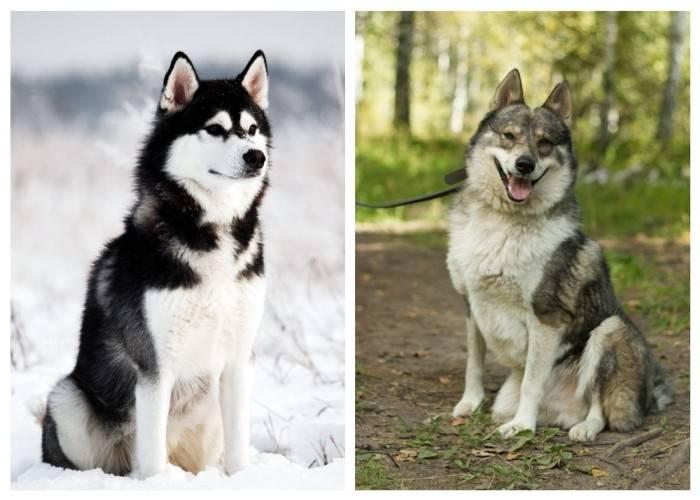 Стандарт хаски: по каким признакам можно определить чистокровную породу и какой должен быть хвост у собаки по ркф