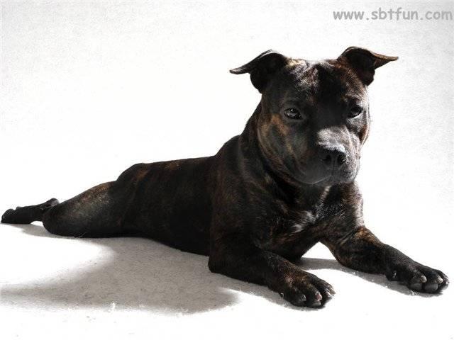 Характеристика породы «американский стаффордширский терьер»: фото собак, принятый стандарт и правила содержания