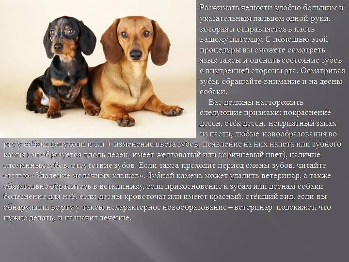 """Порода собак такса плюсы и минусы по опыту 6 лет 7 мес. — обсуждение в группе """"собаки""""   птичка.ру"""