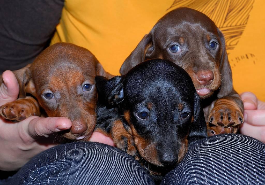 Клички для таксы мальчика и девочки: на что ориентироваться при выборе, как влияет пол собаки и варианты имен знаменитых такс
