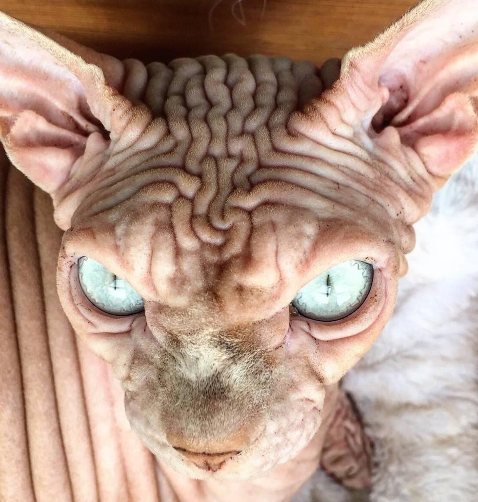 Страшные кошки: бедные существа и эксперименты генетиков. страшные породы кошек страшные котята - инфо по медицине